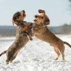 Dackelkampf im Schnee