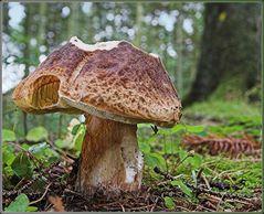 Dänischer Steinpilz - Boletus danicus