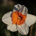 Daffodil - aperture 5.6