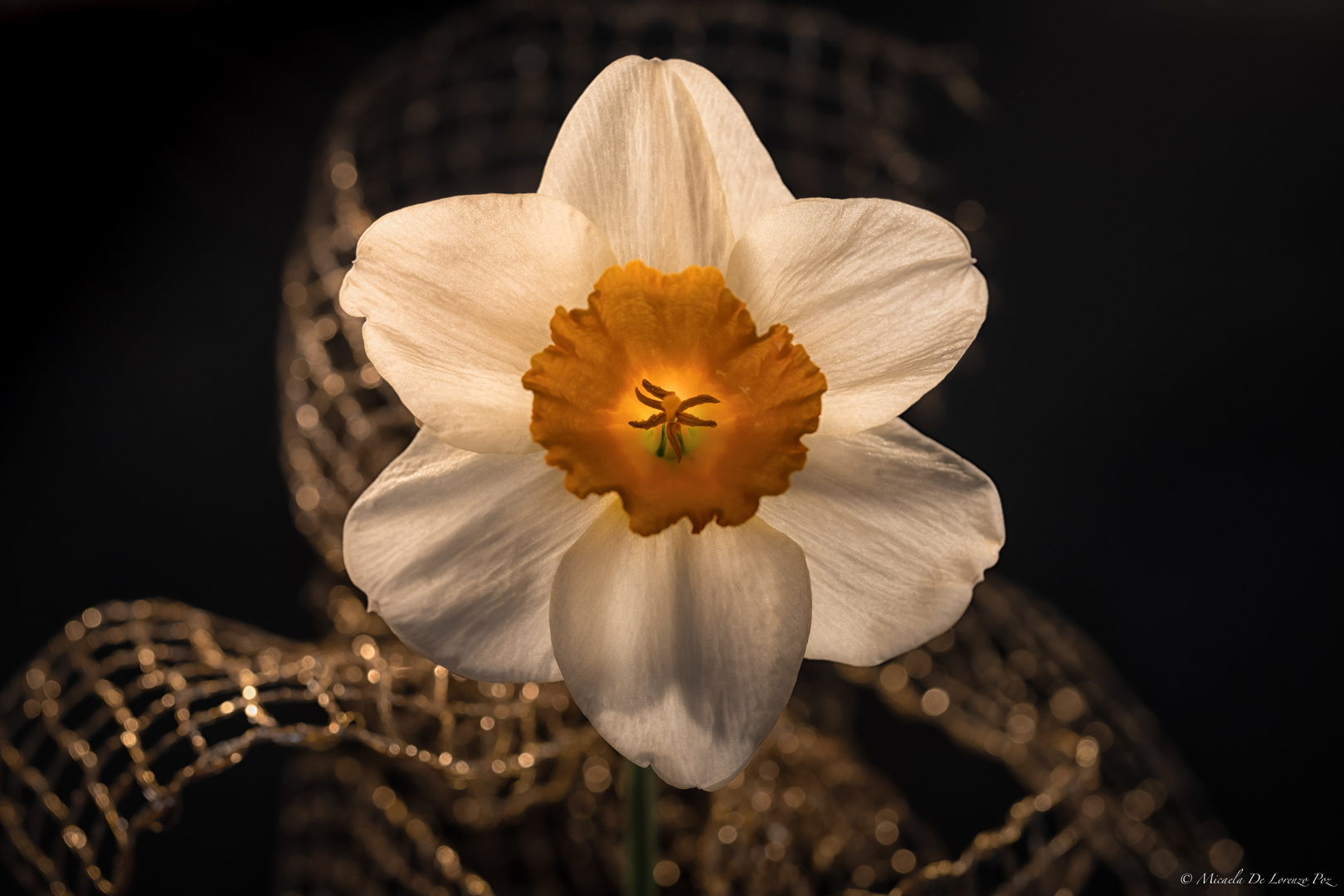 Daffodil, Backlight, Experimenting