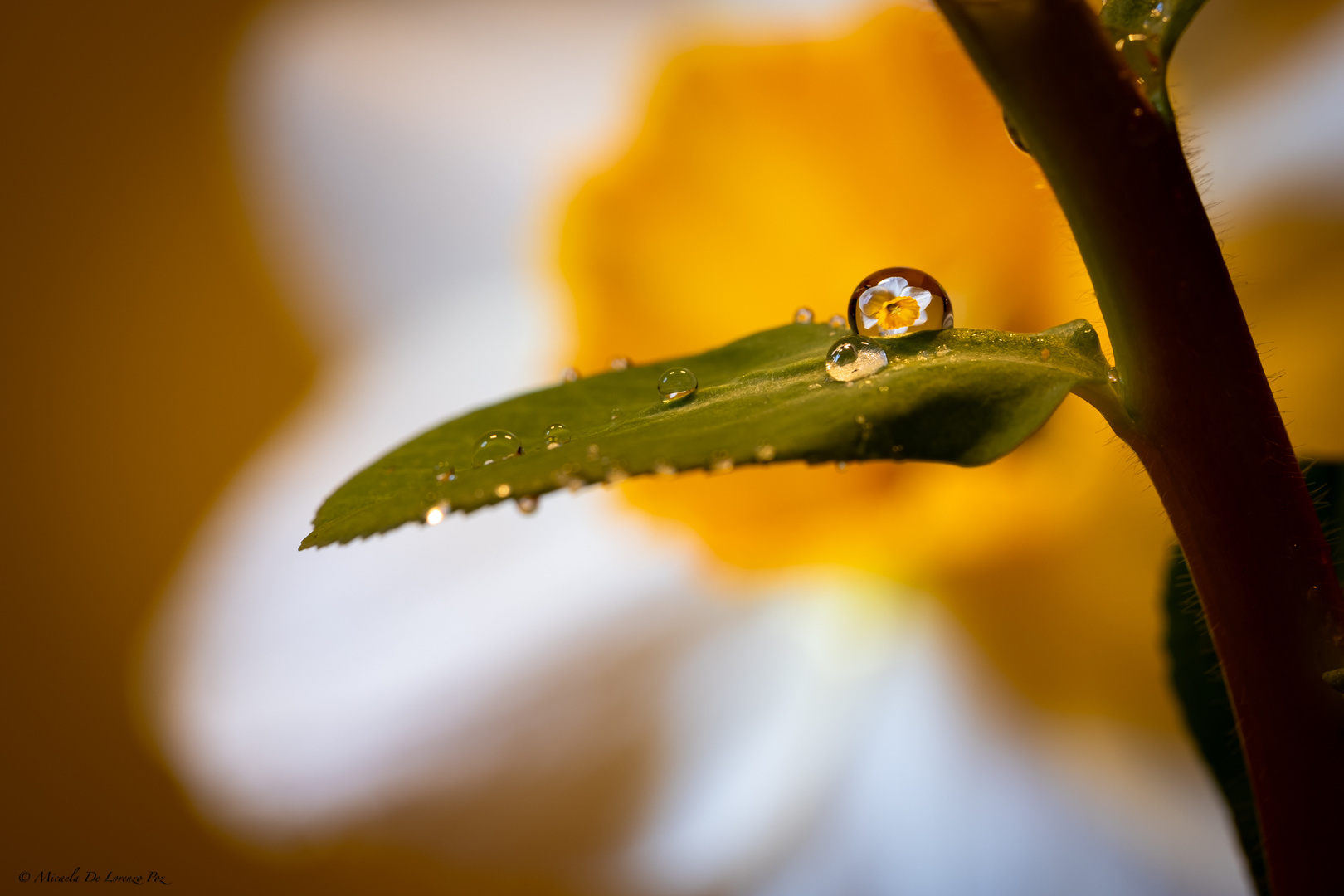 Daffodil in a Drop, experimenting