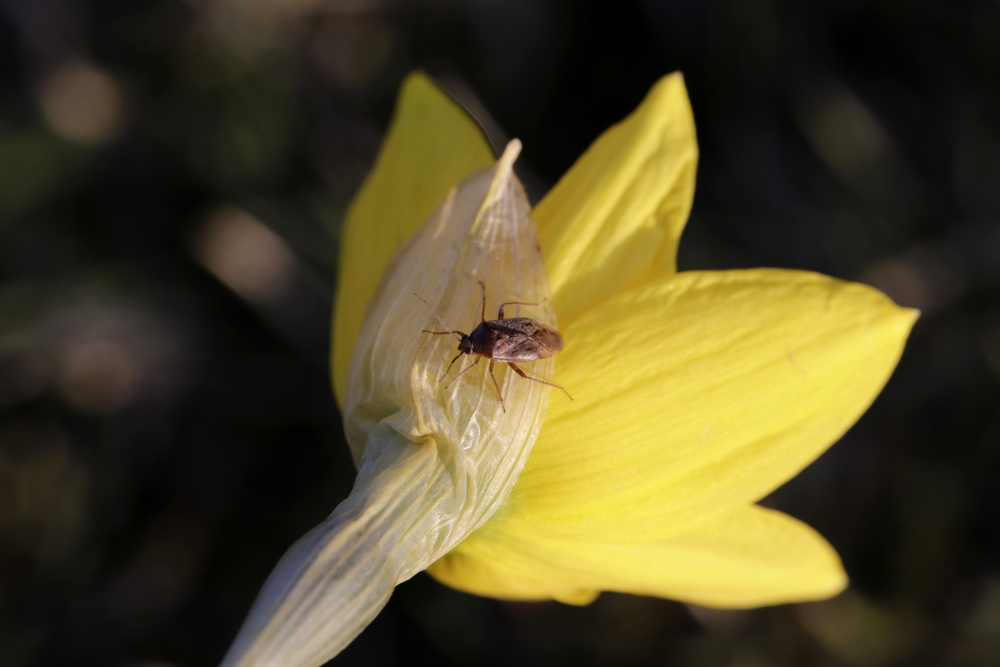 Daffodil with a bug