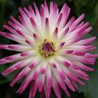 dahlia cactus