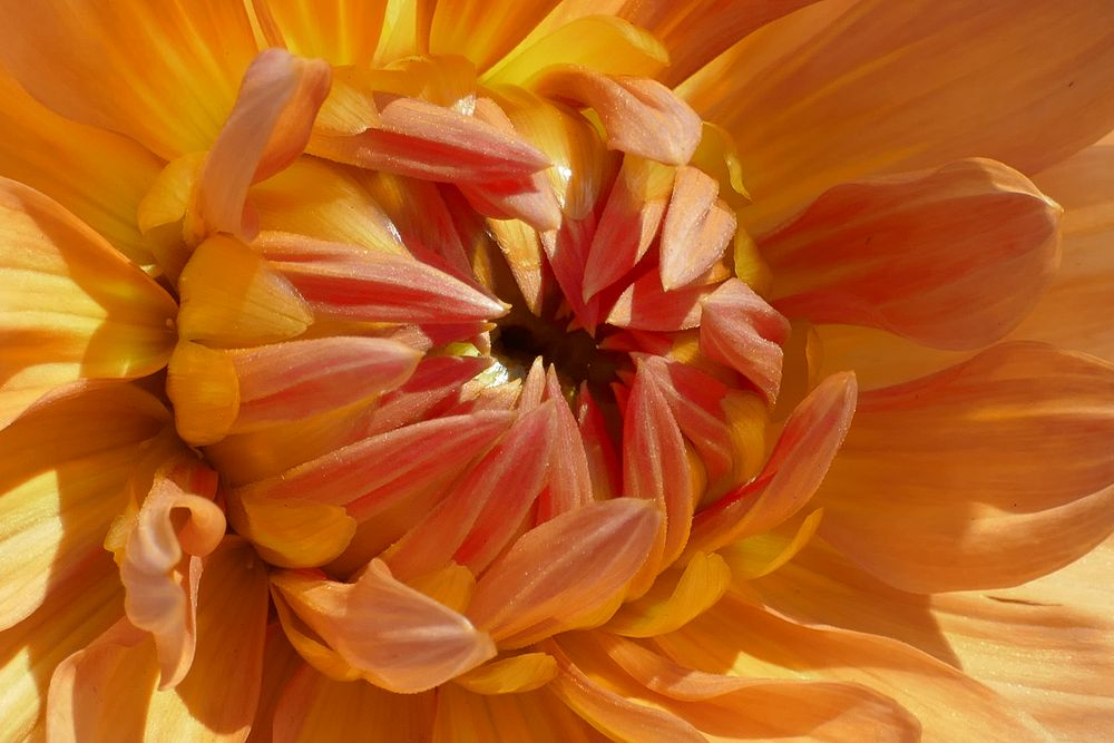 Dahlie 4 - Herbstsonne