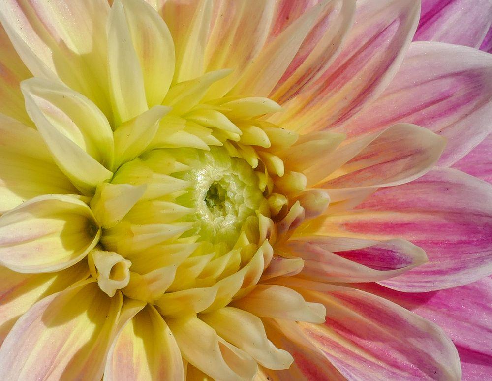 Dahlie 7 - Colour flow