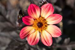 Dahlie-Blütentraum 1