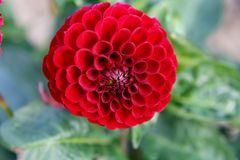Dahlie Blütentraum 6