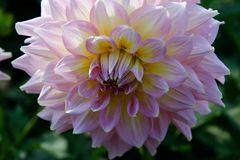 Dahlie Blütentraum 7