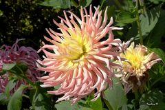Dahlie im Oktober in meinem Garten