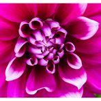 Dahlie in pink