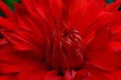 Dahlie in red!