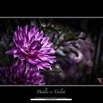 Dahlie in Violett