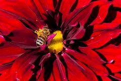 Dahlie nahgesehen mit Biene