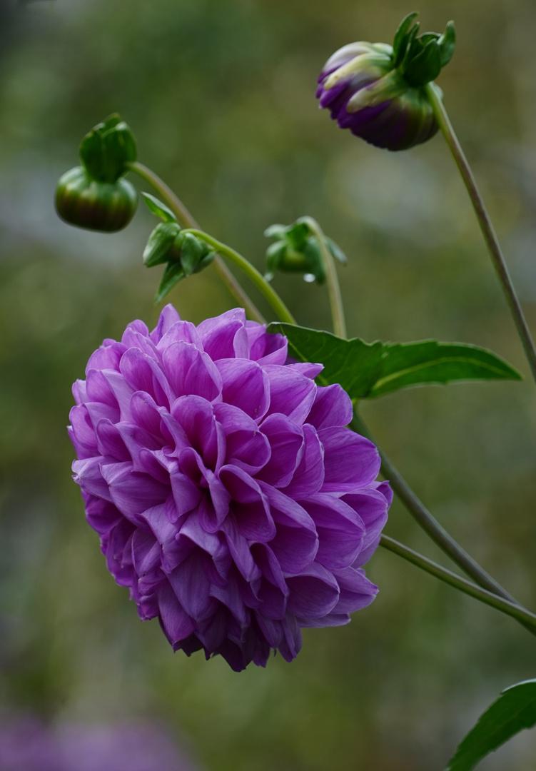 Dahlien Blüte.