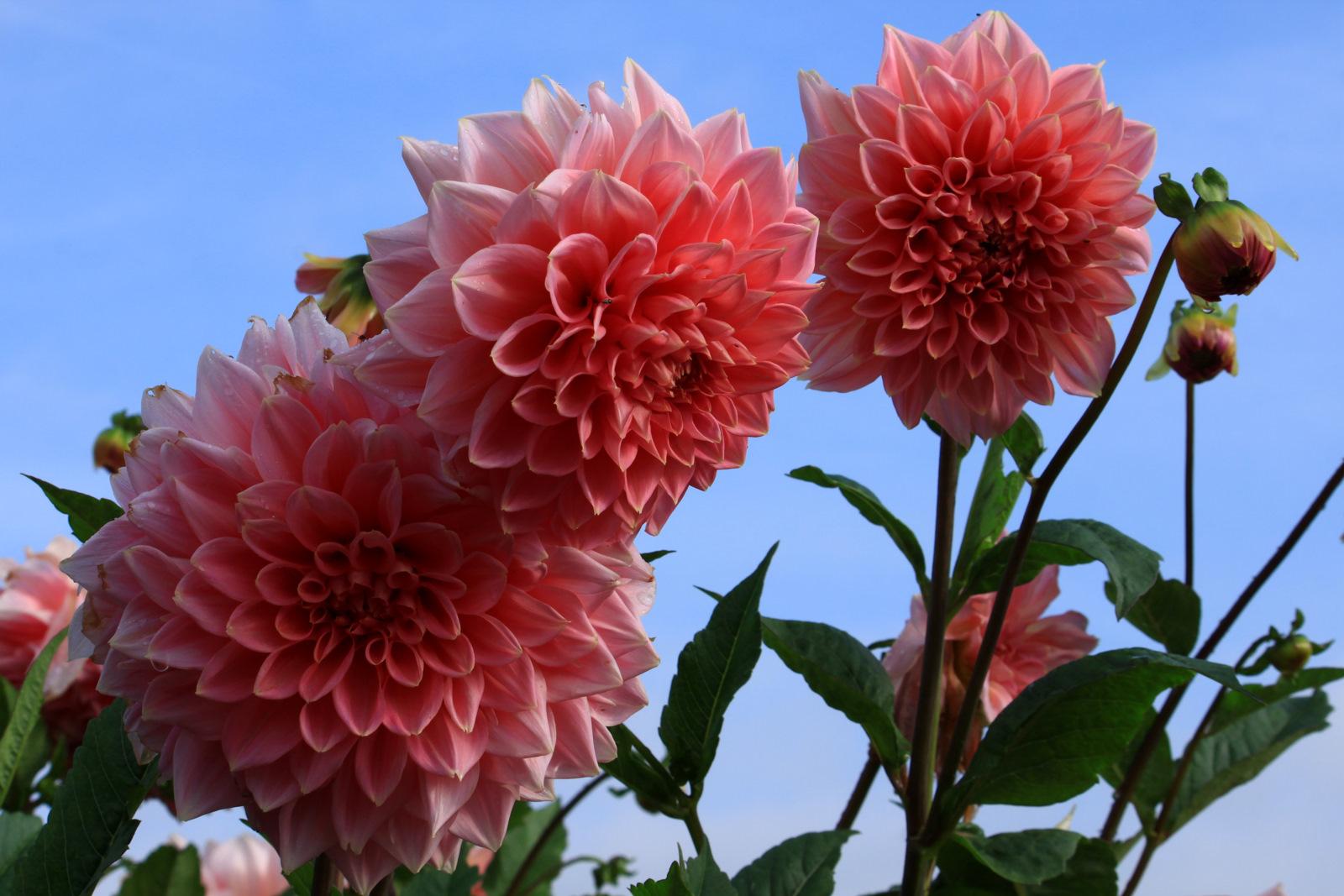 -Dahlien in Nachbars Garten-