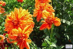 Dahlien in voller Blüte