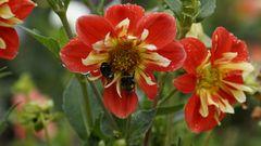Dahlienblüte - Rettung im Regen für die Hummel