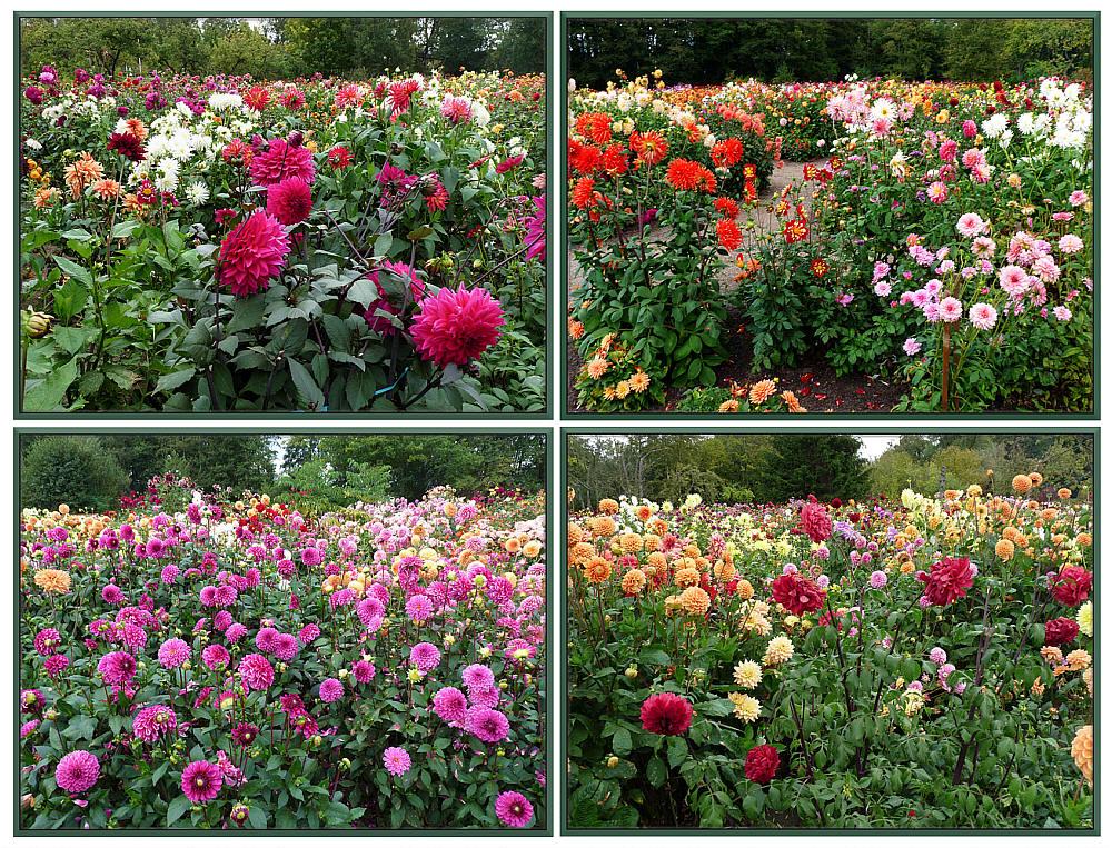 Dahliengarten in Winsen / Luhe
