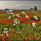 Daisies - anzi camomilla