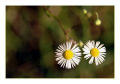Daisies - Gänseblümchen