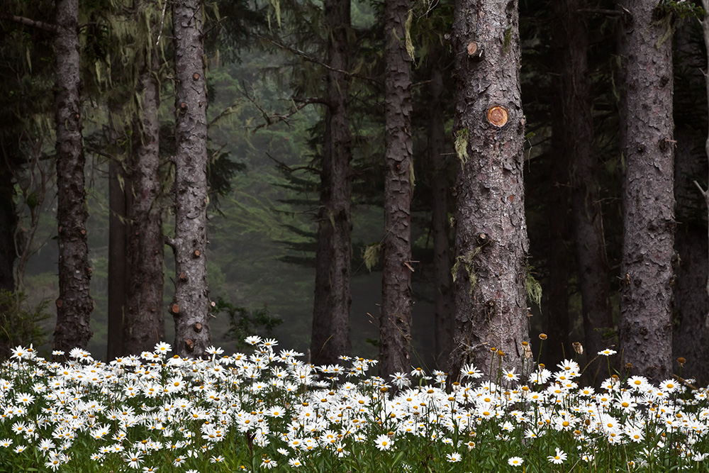 Daisies in the Forest