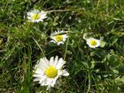 Daisies in the lawn