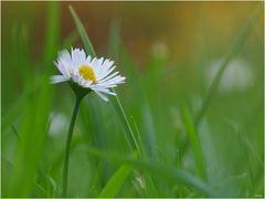 Daisy ...
