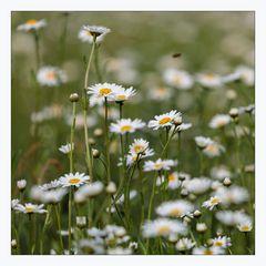 _daisy