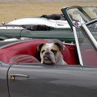 Daisy, geduldige Beifahrerin