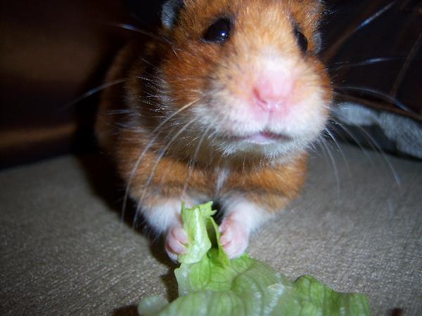Daisy, ginger hamster