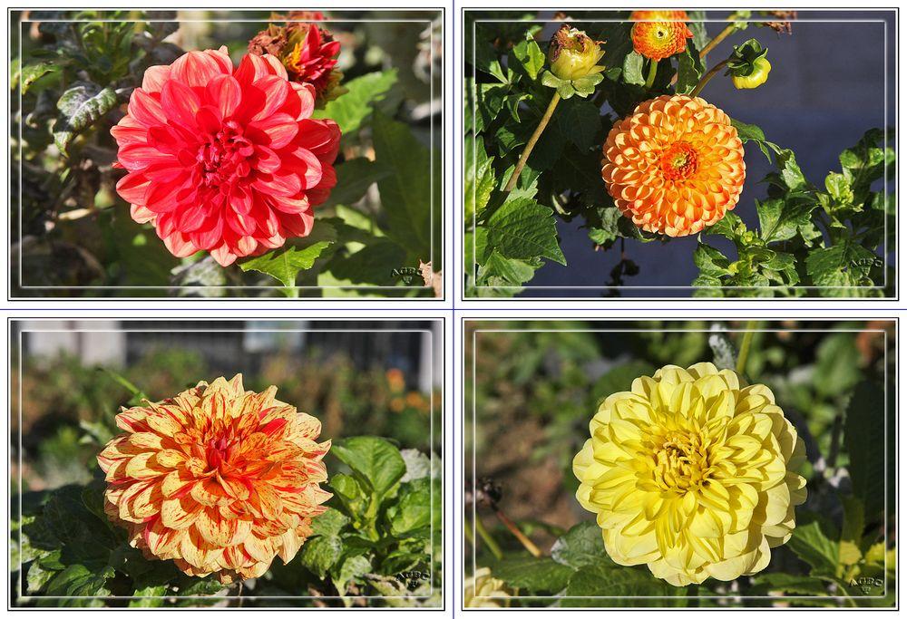 Dalias en el Parque Dalieda de San Francisco (Madrid) MiniKM3.5