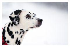 Dalmatiner Gina
