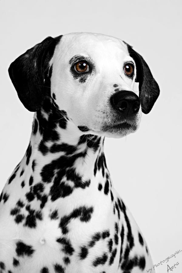 Dalmatiner Kira