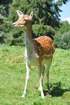 Dama (Damhirschkuh, Dam deer) V3