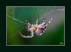 Dame araignée réparant sa toile abimée par le vent
