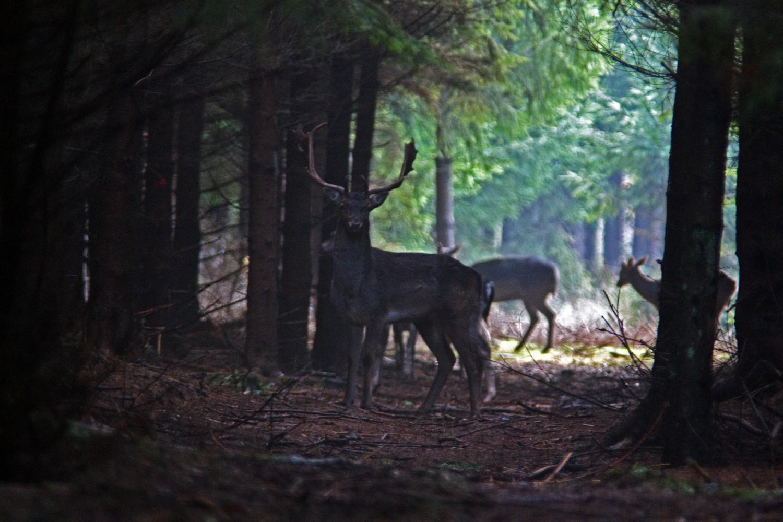 Damhirsch im dunklen Walde