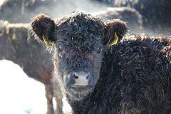 Dampfende Kuh