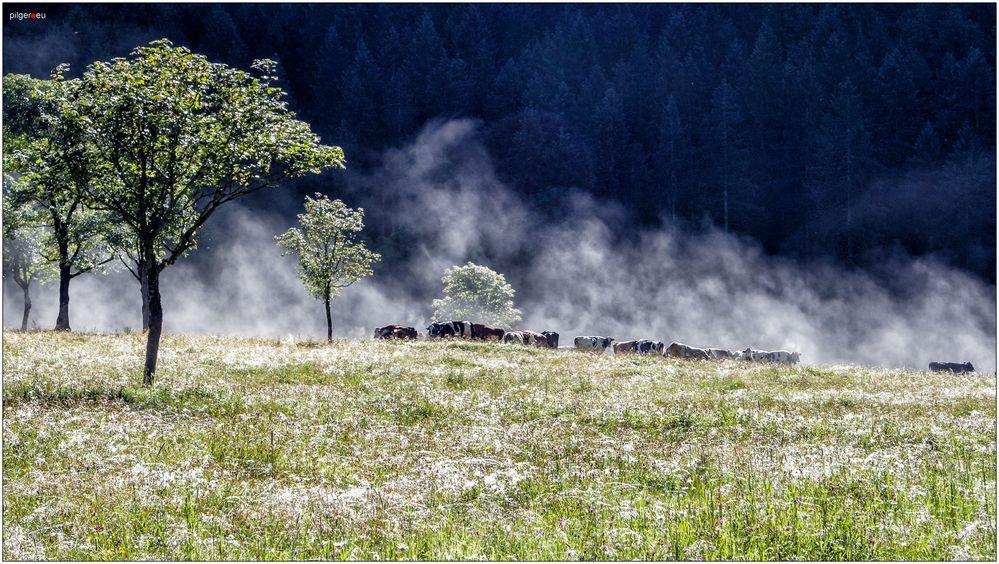 Dampfende Rinder