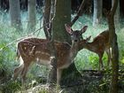 Damtier mit Kalb im Herbstwald