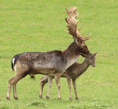 Damwild-Hirschpaar