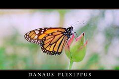 Danaus plexippus (color)