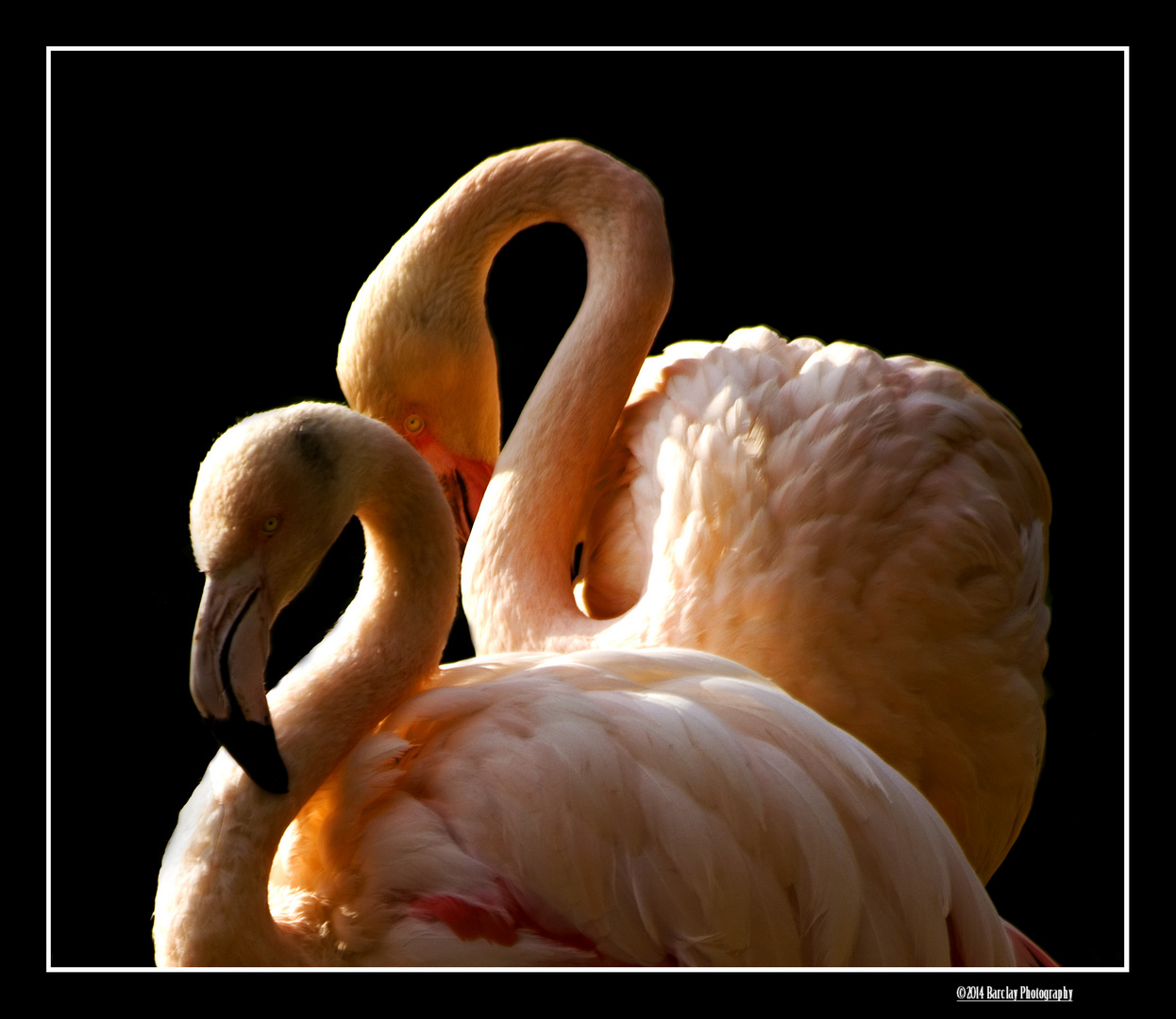 Dance of the Flamingo,s