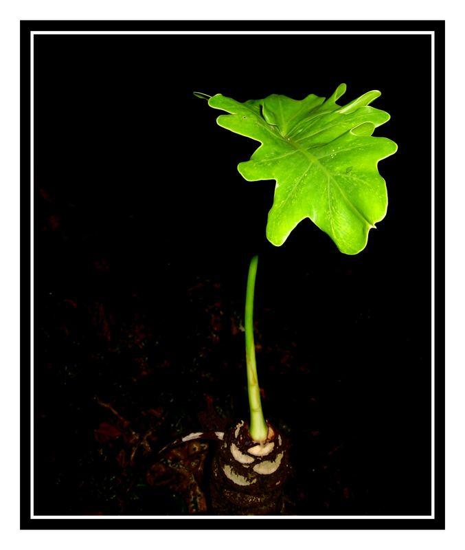 dancing midnight leaf