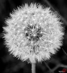 Dandelion (03.05.2014) - Black and white