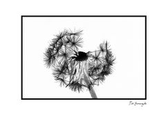 Dandelion-10[Inversion]