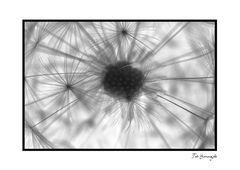 Dandelion-8[Inversion]