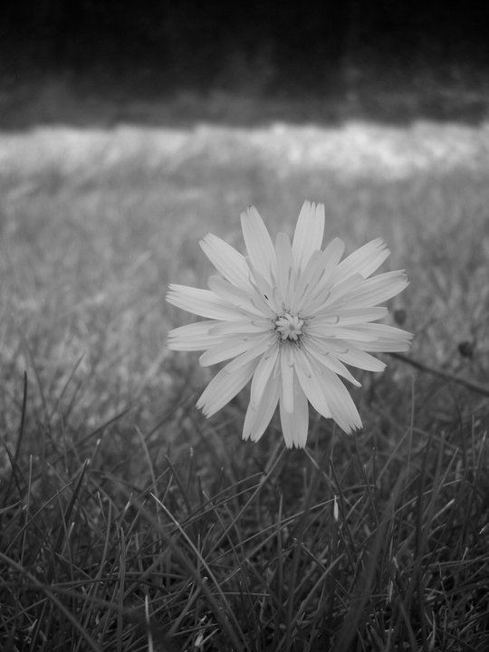 Dandelion flower.