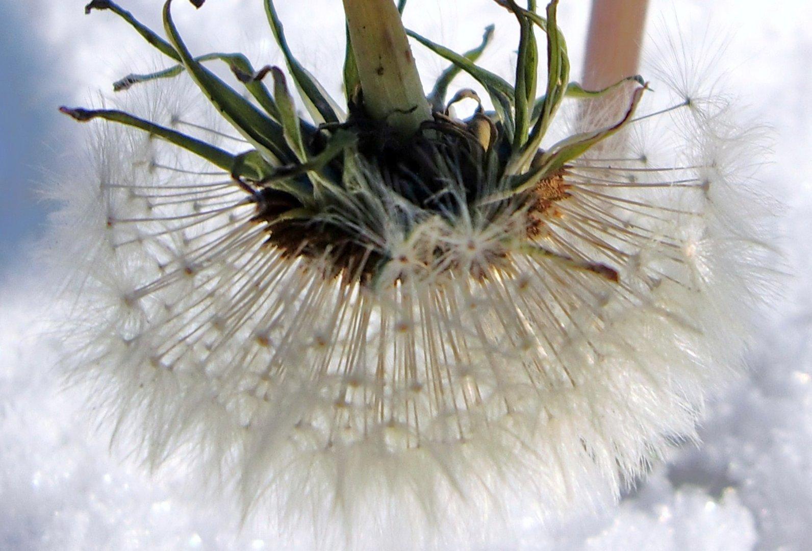 Dandelion in the snow.