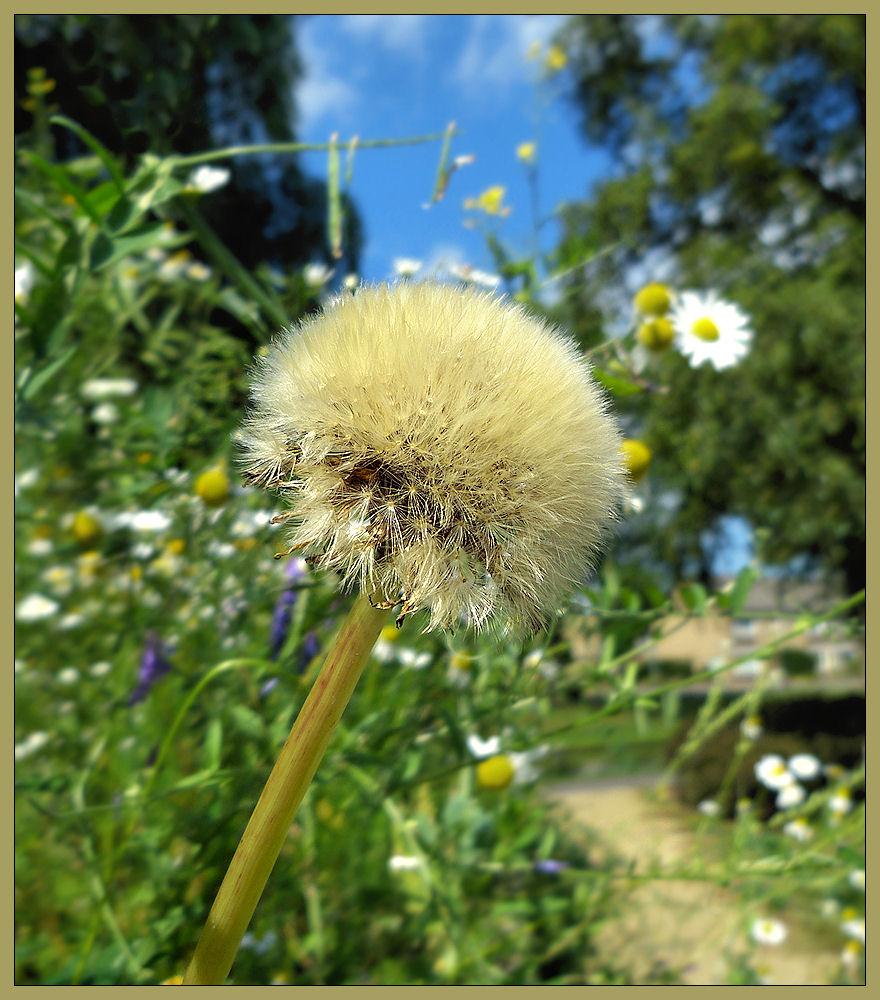 Dandelion on a hillside