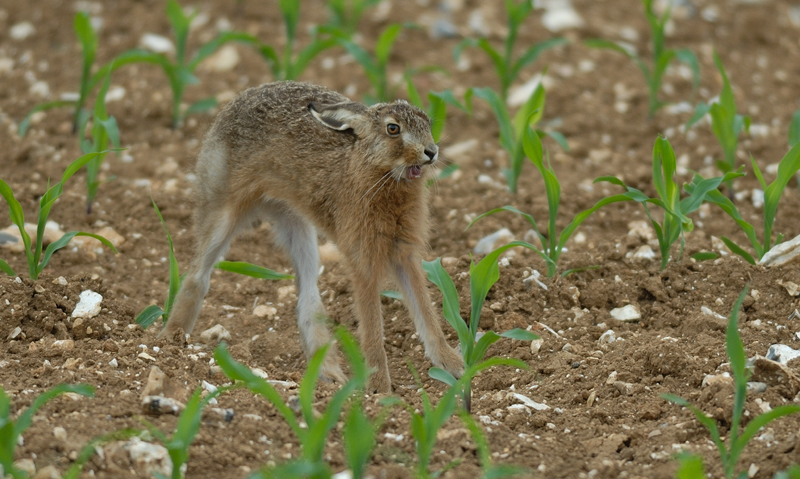 Dans la Plaine - Le Lièvre se réveille